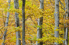 Forest of beech. Stock Image