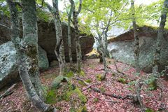 Forest of beech tree in Pyrenees. Forest of beech tree and granite bloc in Pyrenees, France Royalty Free Stock Images