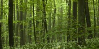 Forest Beech Tree Grove denso Foto de archivo libre de regalías