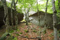 Forest of beech tree in Pyrenees. Forest of beech tree and granite bloc in Pyrenees, France Royalty Free Stock Image