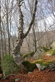 Forest of beech tree in Pyrenees. Forest of beech tree and granite bloc in Pyrenees, France Stock Photo