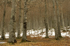 Forest of beech trees and snow. Forest of beach trees and snow in winter Royalty Free Stock Images