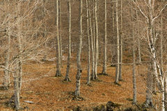 Forest of beech trees. In winter Stock Images