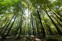 Forest of beeches Stock Image