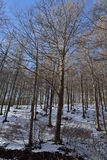Forest of beeches. Covered with snow forest of beeches, one winter morning Stock Photography