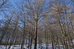 Forest of beeches. Covered with snow forest of beeches, one winter morning Stock Photos