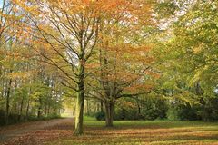 Forest with beeches in the park. Forest with beeches in the park on a Sunny day in the beautiful autumn Royalty Free Stock Images