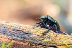 Forest Beetle Fotografía de archivo