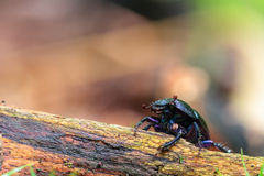 Forest Beetle Royalty Free Stock Photos