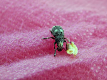 Forest beetle on a pink fabric Royalty Free Stock Photos