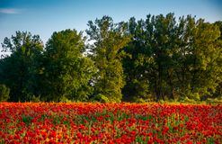 Forest behind the poppy field. Lovely nature scenery in evening light Royalty Free Stock Photos