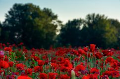 Forest behind the poppy field. Lovely nature scenery in evening light Royalty Free Stock Photography