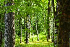 Forest in Belarus. Summer forest with birch in Belarus Royalty Free Stock Photos