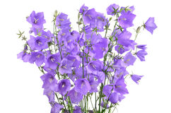 Forest bellflowers Stock Photos