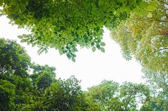 Forest From Below vert sur le blanc image stock