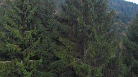 Forest The-bergen Grote groene sparren Het schieten van quadcopter stock videobeelden