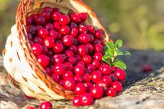 Forest berries cranberries in a basket royalty free stock image