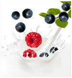 Forest berries. Design of packing yoghurt. Illustration. Ripe blueberries and raspberries falling into the milky splash. Background for design of packing Royalty Free Stock Photos