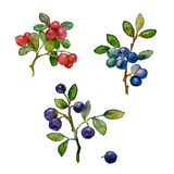 Forest berries Stock Images