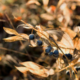 Forest Berry Royalty Free Stock Photo