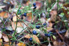 Forest berry black useful. grows among. Grass and fallen leaves. photo for your design. horizontal sheet orientation Stock Photos