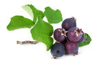 Forest berry blueberries Royalty Free Stock Photography