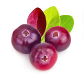 Forest berry cranberry Royalty Free Stock Image