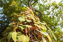 Forest betel grow on the tree close up Stock Photography