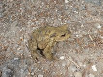 Big brown toad in the forest Royalty Free Stock Photo