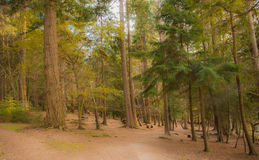 Forest with big trees Royalty Free Stock Photography