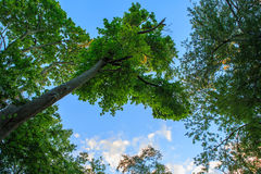 Forest. Big trees in forest Watertown, Massachusetts Royalty Free Stock Photos