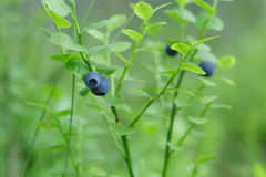 Forest bilberry close up Royalty Free Stock Images