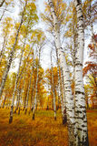 Forest birch Stock Image