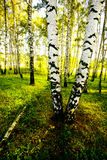 Forest birch Royalty Free Stock Images