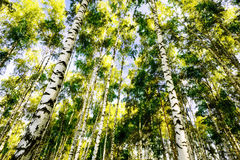 Forest birch Royalty Free Stock Photos