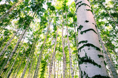 Forest birch Royalty Free Stock Image