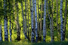 Forest birch. Birch forest in sunlight in the morning Stock Images