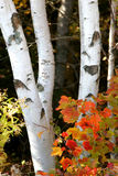 Forest Birch Stock Photography