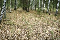 Forest Birch Grove Arboleda del abedul Bosque asoleado del resorte Foto de archivo libre de regalías
