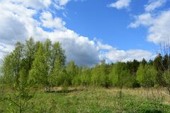 Free Forest, Birch Grove. Deciduous Trees, Young Foliage And Grass. Cloudy Sky Stock Images - 184910394