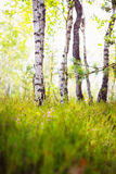 Forest Birch Grove Stock Photos