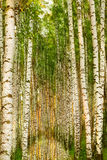 Forest birch near a pond Stock Images
