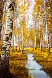 Forest birch near a  river Royalty Free Stock Image