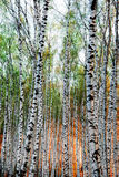 Forest birch in red sunlight Stock Photos