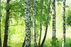 Forest birch Royalty Free Stock Photo