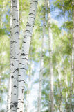 Forest birch Stock Images