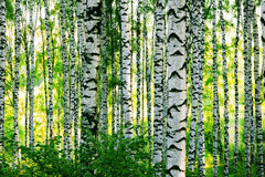 Forest birch Stock Photos