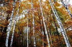 Forest birch. Tree in autumn Stock Photo