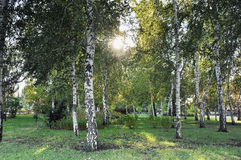 Forest of birch trees Royalty Free Stock Photo