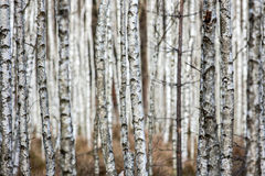 Forest of birch trees Stock Photography